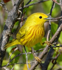 Yellow Warbler_Ted Eubanks