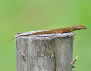 Anolis watti, Antigua, by Ted Lee Eubanks
