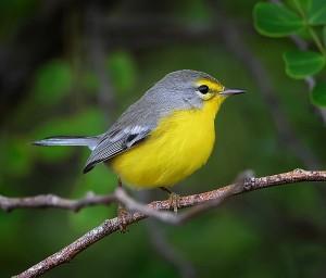 Barbuda warbler (Setophaga subita) by Ted Lee Eubanks