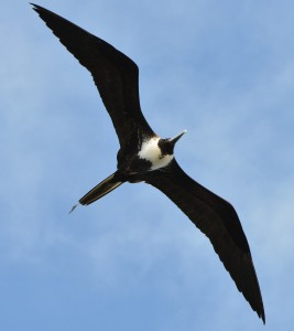 Magnificent frigatebird, Codrington Lagoon, Barbuda, by Ted Lee Eubanks