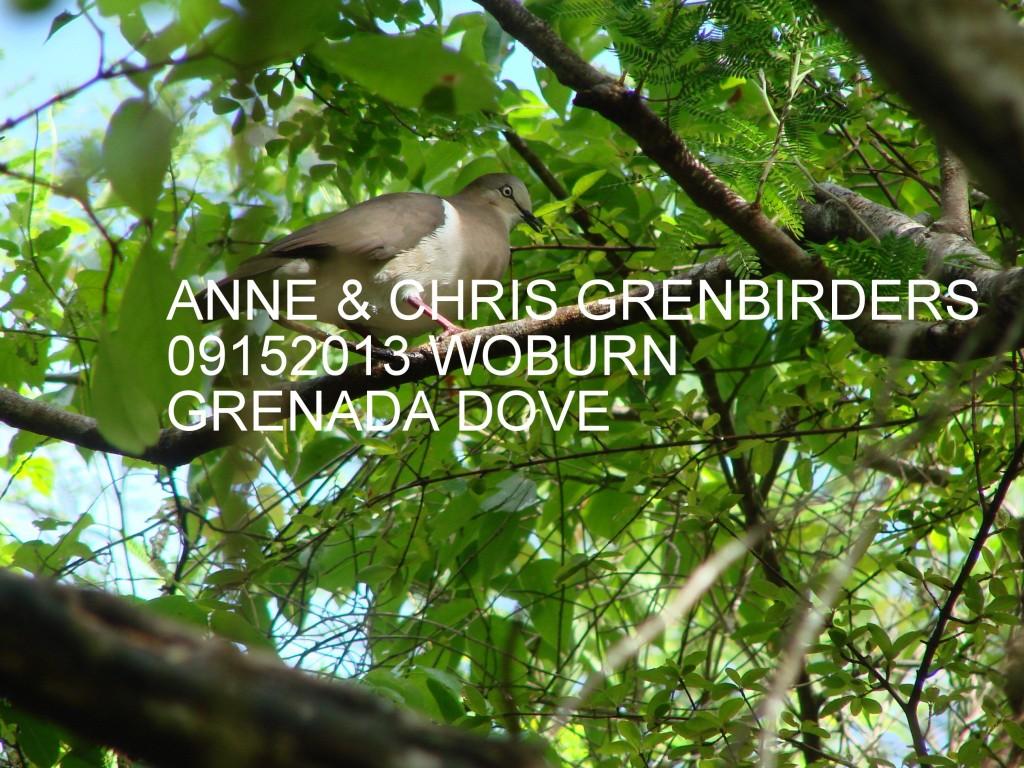 Grenada Dove at Woburn/Clark Court's Bay Marine Protected Area