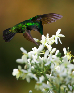 Antillean Crested Hummingbird. Photo by Sean Modi.