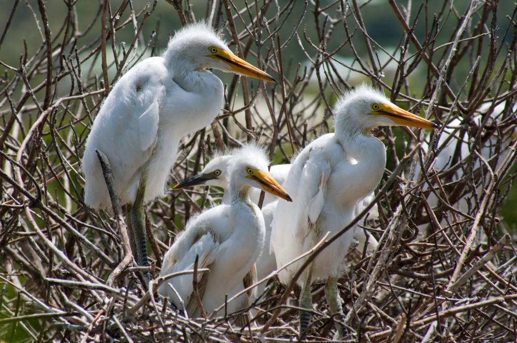 great-egret-chicks