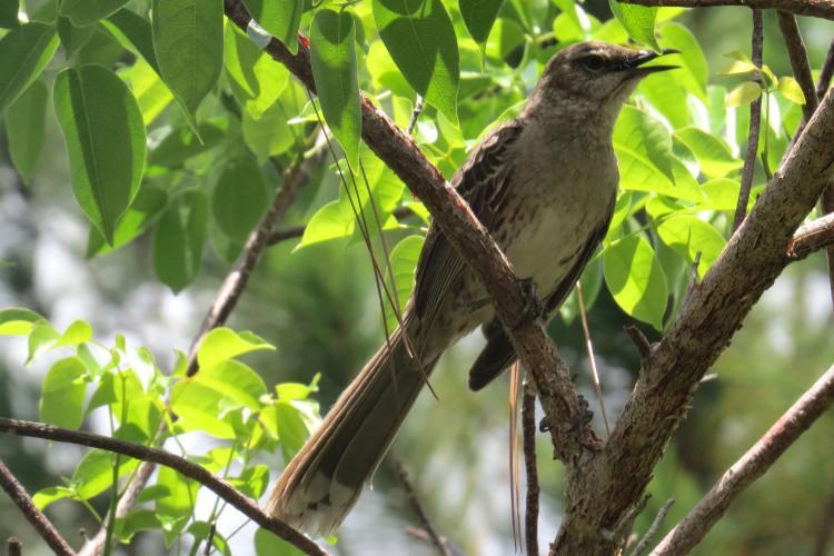 Bahama Mockingbird (Photo by Carolyn Wardle)