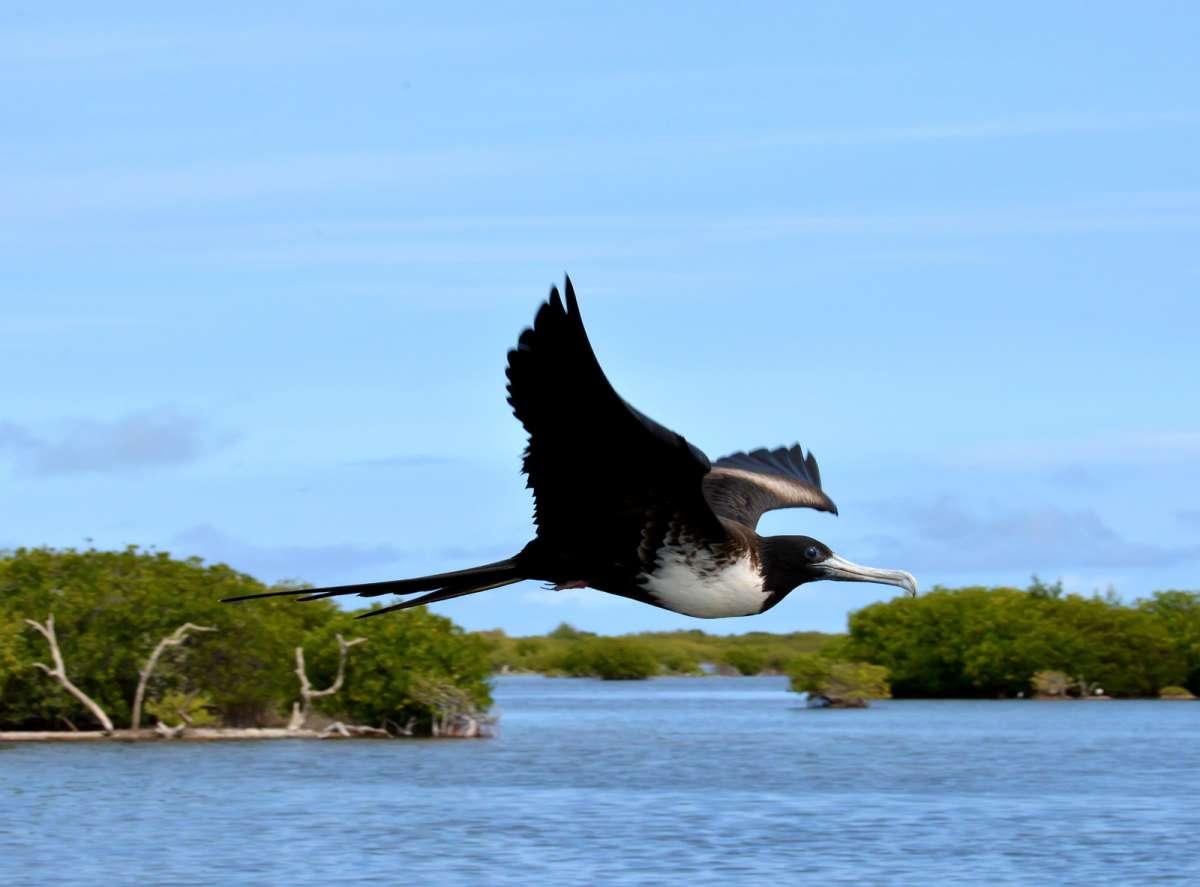 frigatebirdmangroves, barbuda, 2013