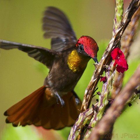 Ruby-topaz Hummingbird (Photo by Jim Platz)